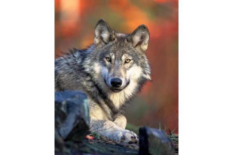 Wisconsin gray wolf. (Photo from: Wisconsin DNR/Gary Kramer).