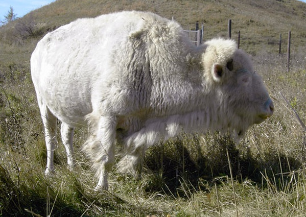 famous albino buffalo  white cloud  dies