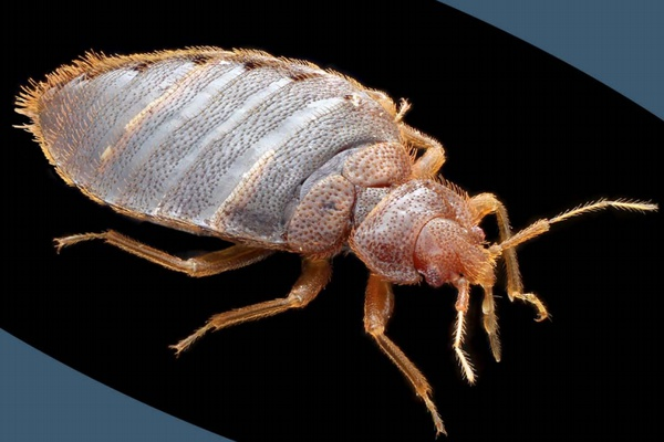 Is Tenant Responsible For Bed Bugs In Michigan