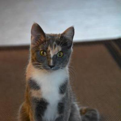 Lost Cat Grey Calico Moorhead 740 The Fan