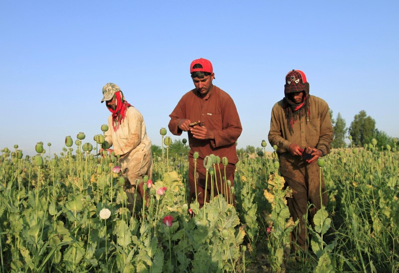 Opium crops spread in Afghanistan as Taliban gains ground, UN says