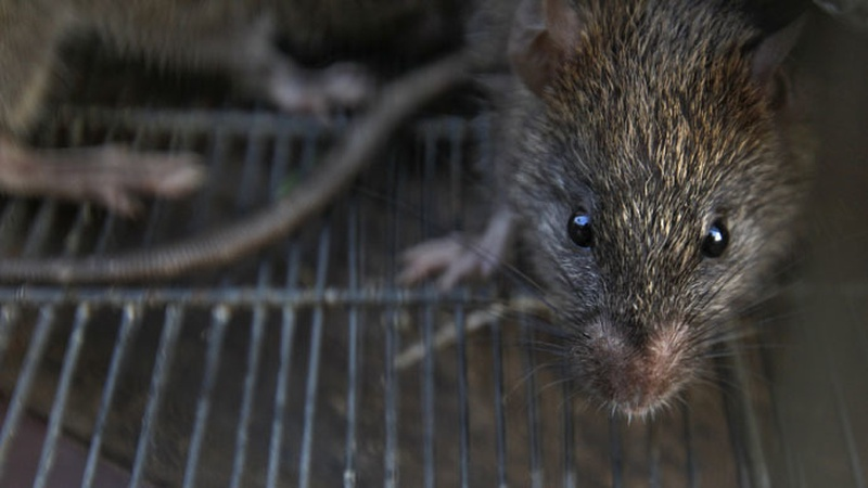 Seoul virus reported at two ratteries
