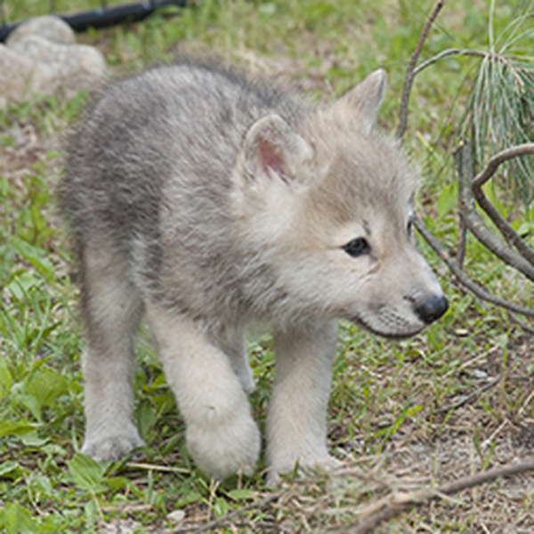 Help name Minnesota wolf pups | News | 740 The Fan