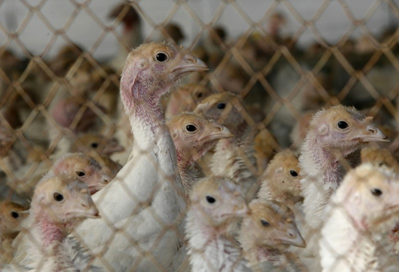 Germany considers keeping poultry indoors after bird flu outbreaks