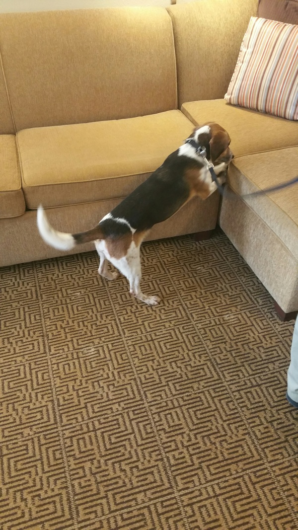 Dogs Searching For Bed Bugs