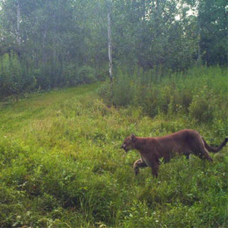 new marshfield cougar women Woman: cougar prowling east of wausau wausau woman said she spotted the big cat not far from wausau east high school.