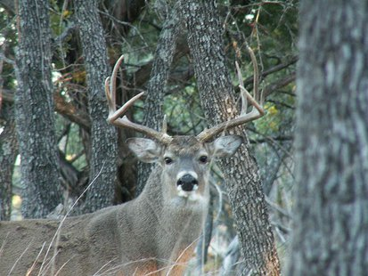 Friend of co-worker took these pictures at their deer lease in Brady, Tx. Although it was hunting season, only used the camera on this guy. By Clinton & Charles Robertson from Del Rio, Texas & College Station, TX, USA (Whitetail Buck, Brady TX Nov 06) [CC-BY-2.0 (http://creativecommons.org/licenses/by/2.0)], via Wikimedia Commons