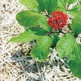 Ginseng plant, with fruit, growing at a farm By FloraFarm GmbH / Katharina Lohrie (Bild selbst erstellt) [GFDL (http://www.gnu.org/copyleft/fdl.html) or CC-BY-3.0 (http://creativecommons.org/licenses/by/3.0)], via Wikimedia Commons