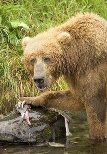 Brown bear feeding on salmon fish ursus arctos By Steve Hillebrand, U.S. Fish and Wildlife Service [Public domain], via Wikimedia Commons