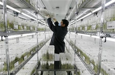 A worker of the International Potato Center (CIP) arranges germinated potato seeds in vitro at a gene bank in Lima January 24, 2008. REUTERS/Enrique Castro-Mendivil