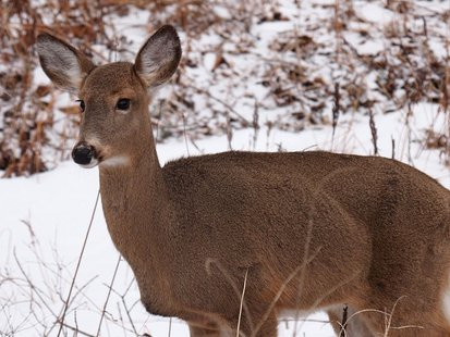A female White-tailed deer By Ken Thomas (KenThomas.us (personal website of photographer)) [Public domain], via Wikimedia Commons