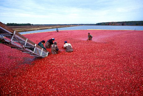 Cranberry harvest in New Jersey By Keith Weller, USDA-ARS [Public domain], via Wikimedia Commons