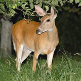 Night shot of whitetail deer eating. Iwctoys at the English language Wikipedia [GFDL (http://www.gnu.org/copyleft/fdl.html) or CC-BY-SA-3.0 (http://creativecommons.org/licenses/by-sa/3.0/)], from Wikimedia Commons
