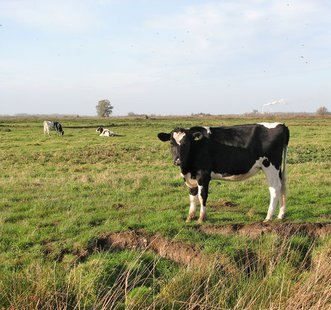Dairy cows and heifers in Thurlton Marshes Evelyn Simak [CC-BY-SA-2.0 (http://creativecommons.org/licenses/by-sa/2.0)], via Wikimedia Commons