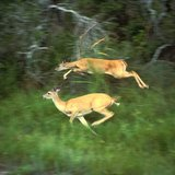 White-tailed deers running By Van Riper, Steve, U.S. Fish and Wildlife Service [Public domain], via Wikimedia Commons