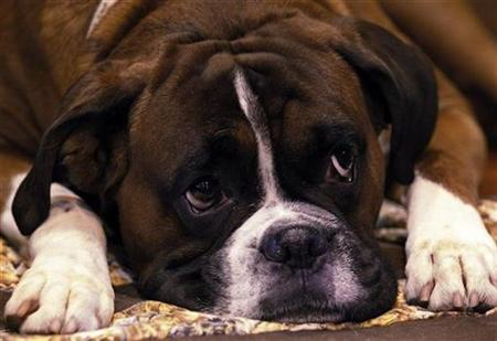 Jenson, a Boxer dog rests in his stall on the first day of the Crufts dog show in Birmingham, central England, March 11, 2010. REUTERS/Phil Noble