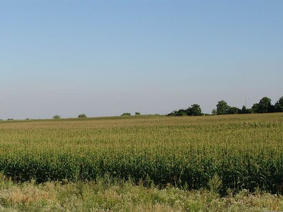 A corn (maize) field in Hungary By Hyena (Own work) [Public domain], via Wikimedia Commons