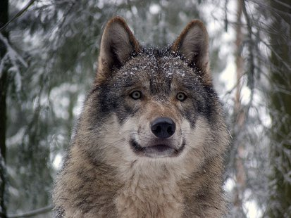 Photo of Gray Wolf By Gunnar Ries Amphibol (Own work (own photo)) [CC-BY-SA-3.0 (http://creativecommons.org/licenses/by-sa/3.0)], via Wikimedia Commons