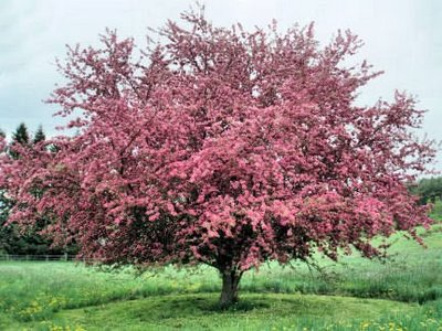 Photo of a crab apple tree.