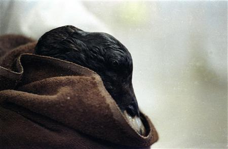 An oil soaked sea bird rests in a towel in an animal rescue center as it is covered in oil spilled from the Exxon Valdez in this March 31, 1989 file photo. A close examination of studies of the Exxon Valdez disaster and interviews with many people who took part in the cleanup offers a possible peek into what lies ahead for the Gulf Coast in the coming weeks, months, years -- and perhaps decades. REUTERS/Mike Blake/Files