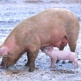 Pig: sow with piglet By Scott Bauer, USDA [Public domain], via Wikimedia Commons