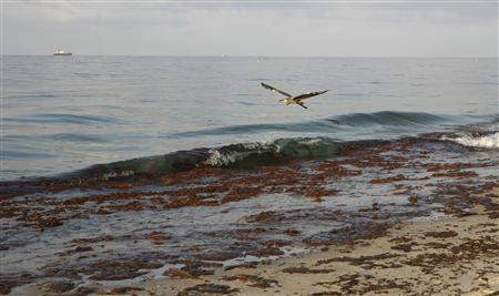 A bird flies above oil seen on the surf and the shore in Gulf Shores, Alabama June 12, 2010. REUTERS/ Lyle W. Ratliff