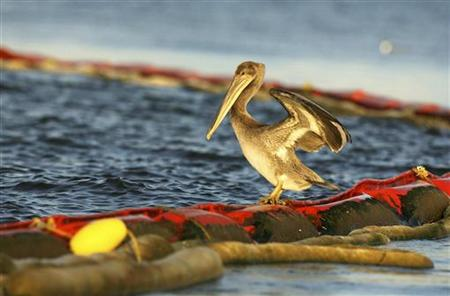A young brown pelican attempts to keep its balance on an oil boom on Cat Island near Grand Isle, Louisiana July 17, 2010. The BP oil spill has been called one of the largest environmental disasters in American history. REUTERS/Sean Gardner