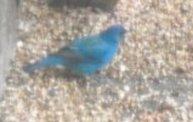 Indigo Blue Bunting 1