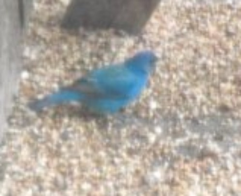Indigo Blue Bunting