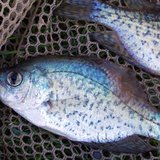 A fish virus has killed these black crappie that were found in Lake DuBay and the Stevens Point flowage in late April and early May 2011