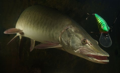 A muskellunge prowls the waters.