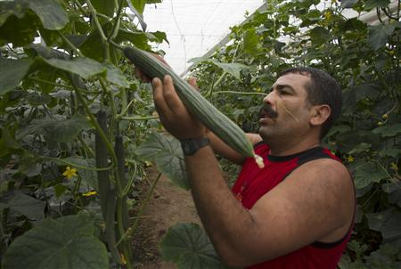 A worker harvests cucumbers in a greenhouse in El Ejido