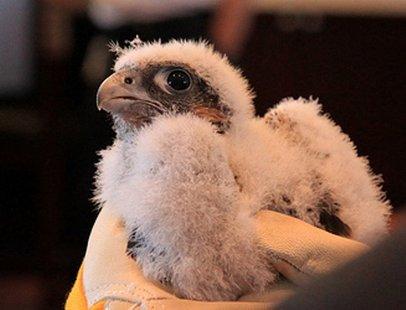 A baby falcon.