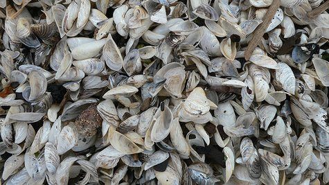 Beach area littered with zebra mussel shells