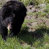 A black bear roams near the Lamar Valley in Yellowstone National Park, Wyoming, June 24, 2011. Black bear are commonly sighted near the tree
