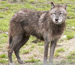 New species of wolf showing up in Wisconsin