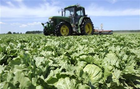 Lettuces are destroyed by a tractor in a field near Hamburg