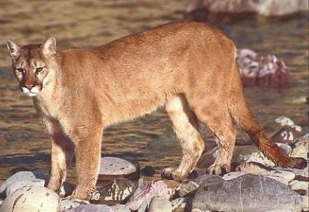 Mountain Lion (photo: US Wildlife Service)
