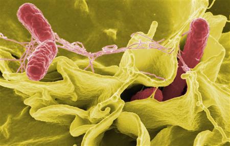 Salmonella Bacteria (Reuters)