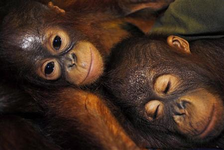 Orangutans rest in Palangkaraya in the province of Central Kalimantan in this May 3, 2007 file photo.