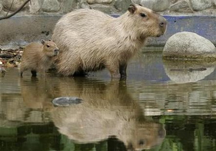 A capybaras born in captivity 15 days ago, follows its mother at the Santa Fe Zoo in Medellin.