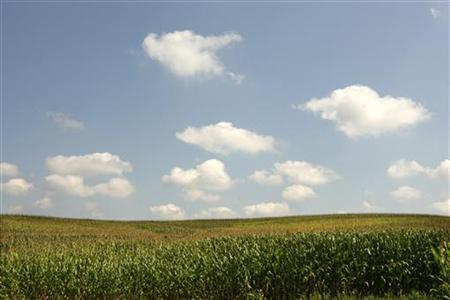 Corn grows in fields in Otisco