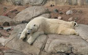 Polar Bear at Lake Superior Zoo
