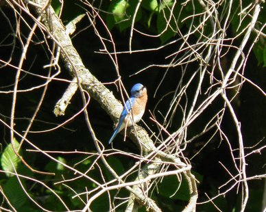 """Beautiful Bluebird"" by Jayne DeKraker (photo courtesy Allegan County Parks Recreation & Tourism Office)"