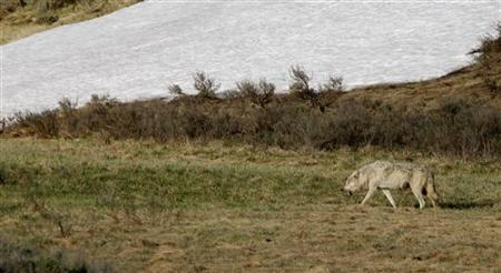 A wolf walks through the Hayden Valley after killing and eating an elk in Yellowstone National Park, Wyoming, June 20, 2011. Elk are the mos