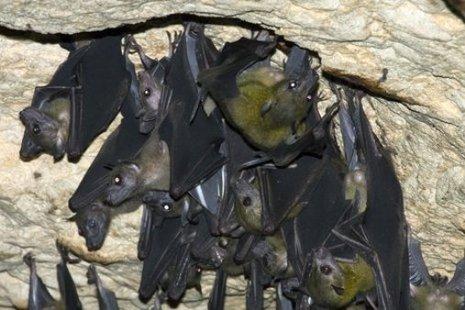 Cave bats.