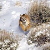 Cougar leaping through the snow. Photo by Trevor Langbell. Distributed by Picasa.