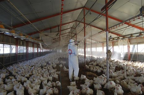 Worker wearing protection suits cull chickens at a poultry farm where the bird flu virus had been found in Takanabe Town, Japan