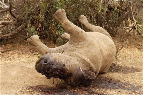 The carcass of a rhino is seen after it was killed for its horn by poachers at the Kruger national park in Mpumalanga province