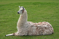 Llama. Picture Courtesy of Wikipedia.